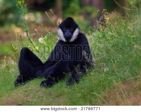 Portrait Of A White-cheeked Gibbon