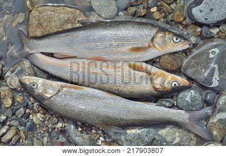 A close up of the catch of fish (Leuciscus brandti) on stones.