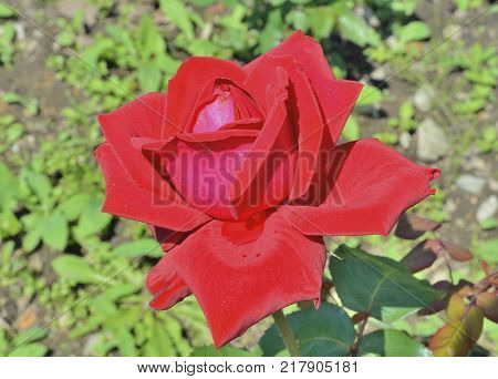 A close up of the flower red rose with raindrops on petals. Isolated on white.