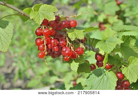 A close up of the berries of red currant on branch.