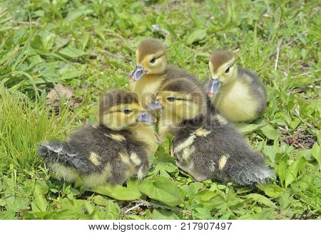 A close up of the very small ducklings on grass.