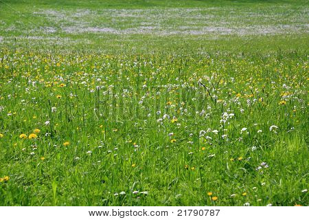 Green meadow with blooming flowers