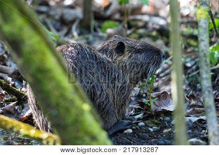 one natural nutria coypu (myocastor coypus) hidden in covert