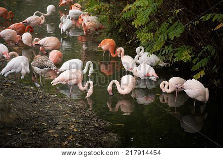 Greater flamingos (Phoenicopterus roseus) and American flamingos (Phoenicopterus ruber) in water
