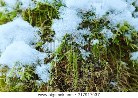 The background green moss with snow in winter