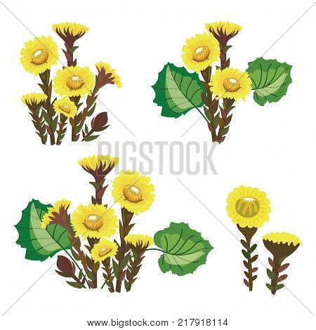 Set of tussilago. Collection of medicinal plants. Vector illustration of yellow flowers.