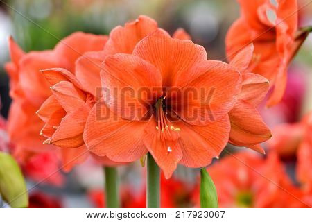 Beautiful red hippeastrum, amaryllis flowers in the garden.A beautiful bouquet of flowers.Dutch flowers.Beautiful composition
