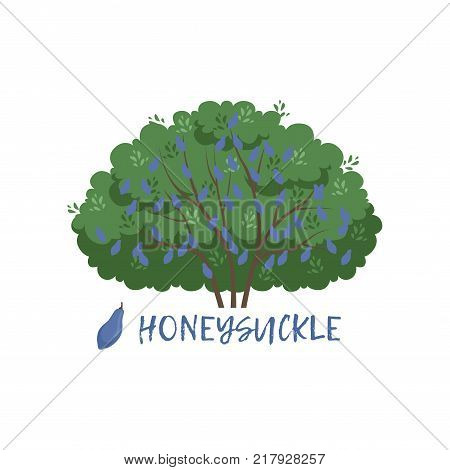 Honeysuckle garden berry bush with name vector Illustration on a white background