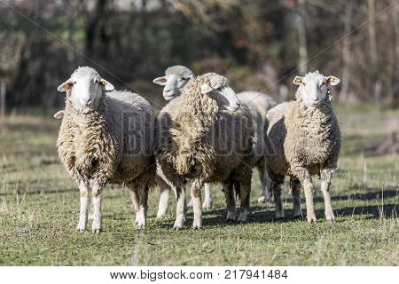 nature white sheeps on pasture field. sheeps grazing