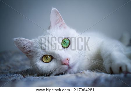 White cat with Heterochromia eyes. Green eyes. Yellow eyes.