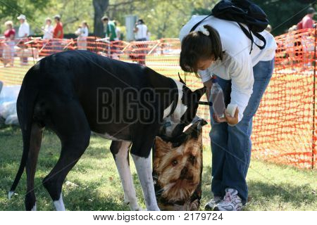 A Great Dane dog sticks his head in a bag of treats while woman looks on. poster