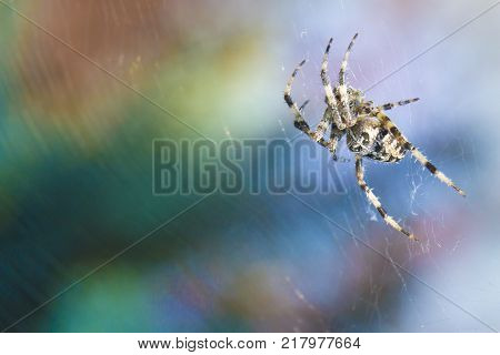 Cross Spider in web Garden useful insect close up