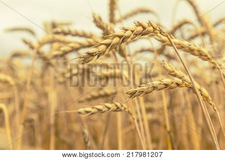Agricultural Fragmental Panorama Of The Wheat Field. Ripe Wheat And Wild Flowers Close-up. Shallow D