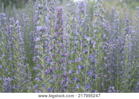 vipers bugloss. thickets of plant with many blue flowers on long stem