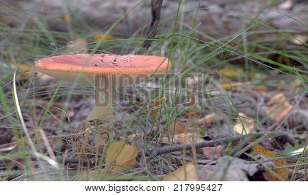 orange fly agaric with fluffy ringlet on white thick stem and flat cap. closeup