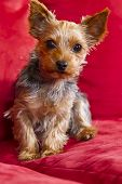 Young Yorkie Terrior puppy on a red velvet sofa poster