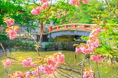 Branches of cherry blossom during Hanami on foreground in Kamakura, Japan. Red wooden bridge connecting two small lakes called Genpei on blurred background inside Tsurugaoka Hachimangu complex. poster