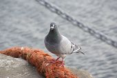 Pigeon sitting on an orange pier rope with anchor chain in background poster