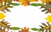 Frame with colored autumn maple leaves - white background poster