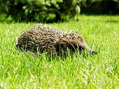 Hedgehog in grass in the summer field poster