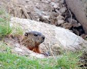 Ground hog peeking out of his burrow in the rocks. poster