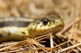 Garter Snake On Pine Needles
