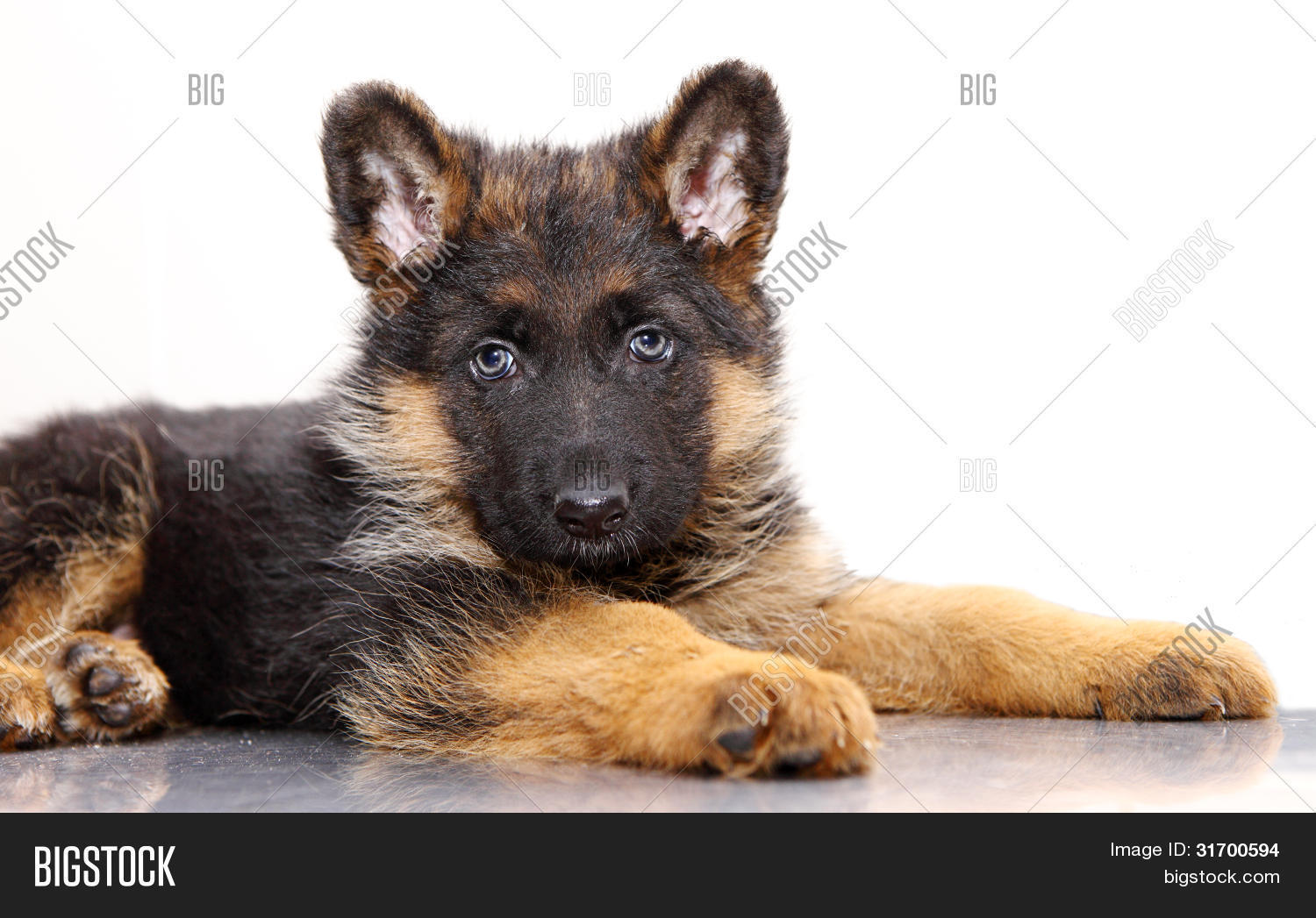German Shepherd Puppy Image Photo Free Trial Bigstock