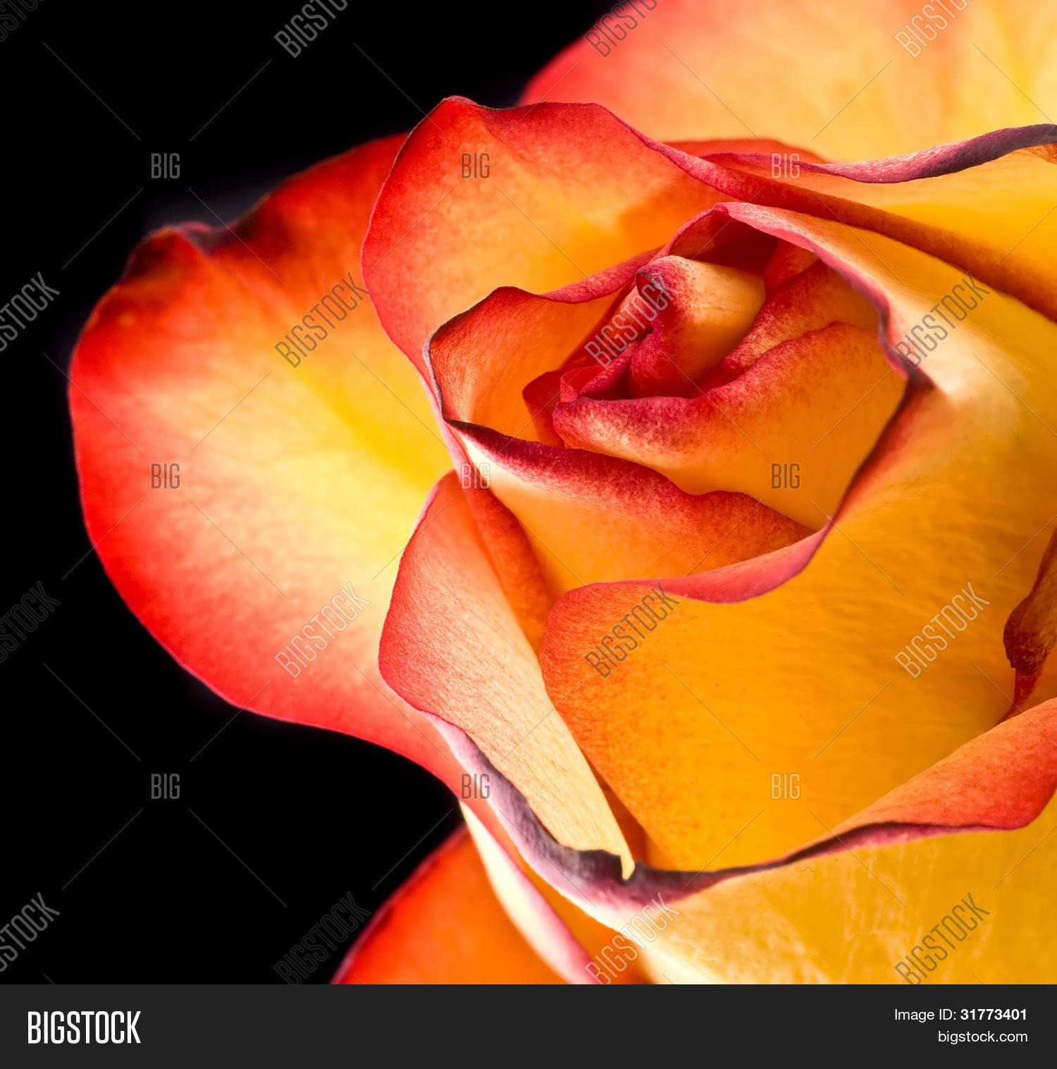 Fire tipped yellow image photo free trial bigstock fire tipped a yellow rose with red tips boldly contrasts on a black background mightylinksfo