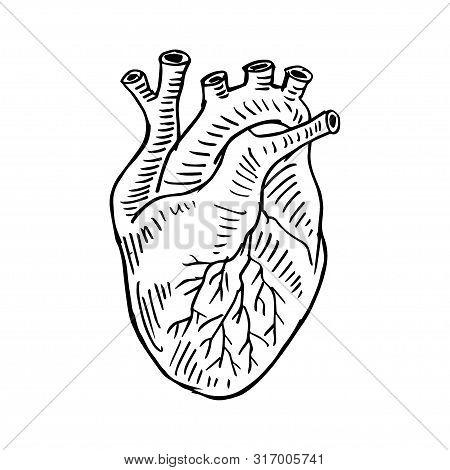 Human Heart Hand Drawing Illustration. Anatomy Of The Internal Organ.