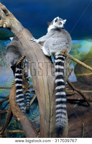 The Ring-tailed Lemurs (lemur Catta) Sitting On Logs In A Zoo