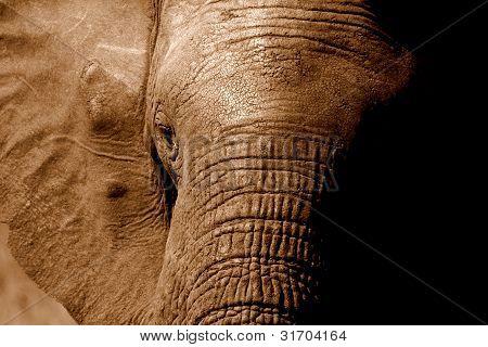 Close up of elephants head