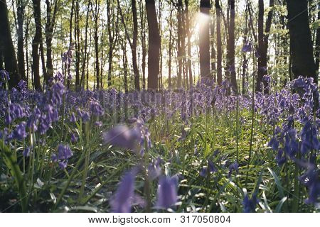 Bluebells In Full Bloom In A Woodland In Hertfordshire England