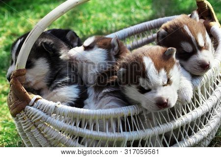 Newborn Siberian Husky.puppy Siberian Husky.siberian Husky Copper Color.it Sits On The Grass