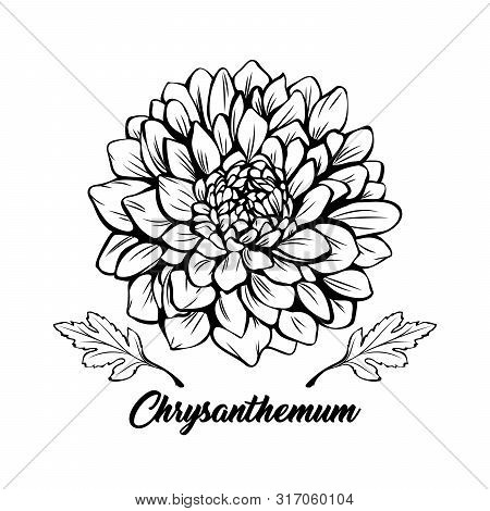 Chrysanthemum Black And White Vector Illustration. Beautiful Golden Daisy Flower, Elegant Blooming B