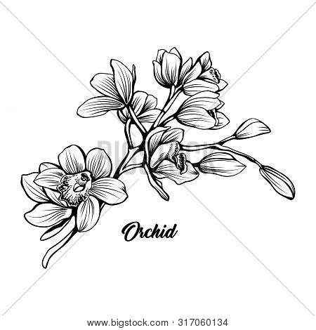 Orchid Branch Hand Drawn Vector Illustration. Floral Ink Pen Sketch. Black And White Clipart. Realis
