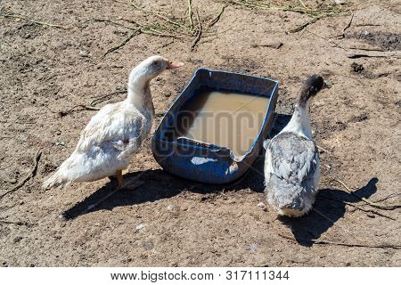 Two ducks stand near old trough full of water poster