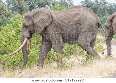 An African Elephant With Large Tusks Walking Through Grass