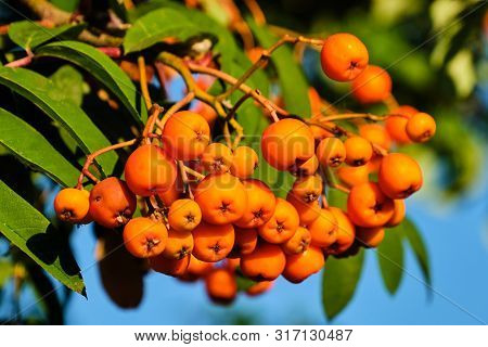 Sorbus Aucuparia Small Orange Berries On Tree Branch With Leaves In Summer