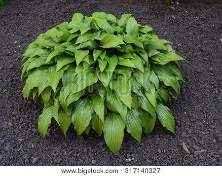 Green Hosta In Summer Garden. Ornamental Plants Khosta (funkiya) Green Hosta (hosta Plantaginea)