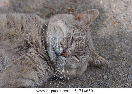 One Big Gray Cat Lies And Sleeps On Asphalt