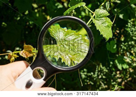 Black Magnifier In Hand Increases The Green Leaf On A Grape Branch