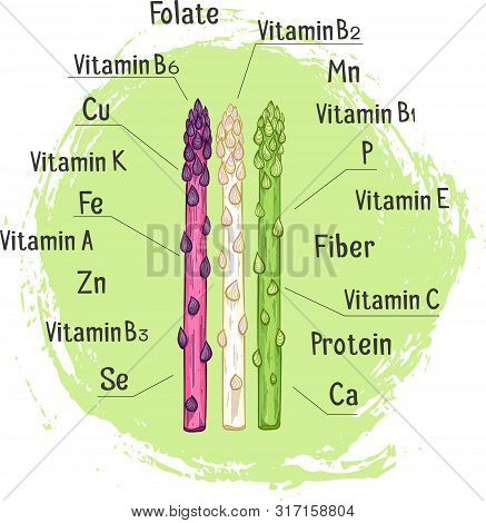 Organic Asparagus With Micronutrient Hand Drawn Vector Illustration. White, Green And Purple Asparag