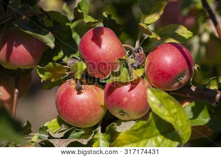Many Apples On The Trees Mature, Close-up