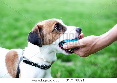 Purebred Jack Russell Terrier Brought The Ball To The Owner And Put His Hand Down. Dog Plays A Game