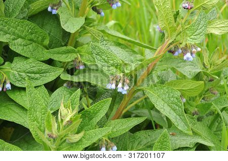 Close-up Of A Flowering Comfrey Shrub With Blue Petals And Hairy Sepals On Rainy Day