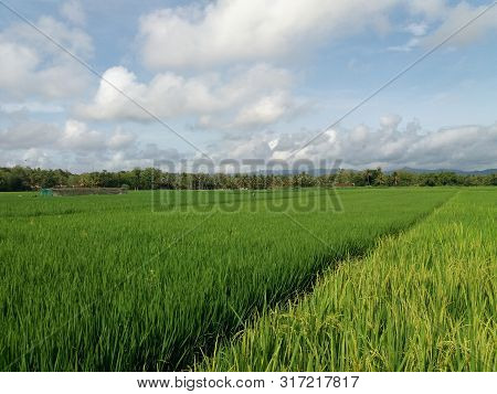 Agriculture Fields As An Agrarian Country.ricefields In Indonesia