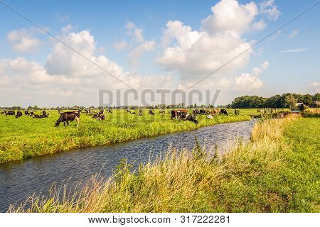 Typical Dutch Polder Landscape With Grazing Cows, A Stram And White Cummuls Clouds In The Blue Sky.