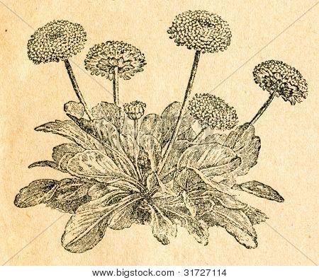 Daisy - gammal illustration av okänd konstnär från Botanika Szkolna na Klasy Nizsze, författare Jozef Rosta