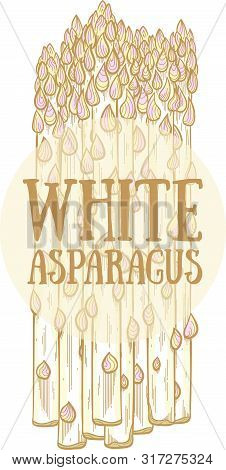 White Asparagus Hand Drawn Vector Illustration. White Asparagus Sprouts On White Background. Fresh A