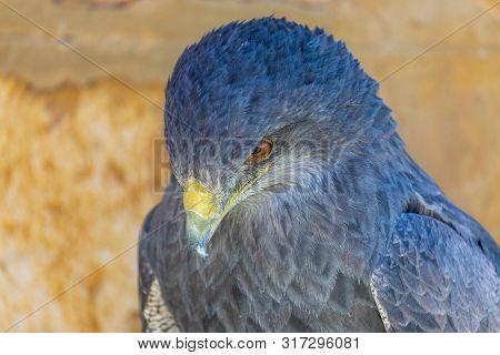 Close-up Of Shield Eagle (geranoaetus Melanoleucus) Adult. Also Called Blackberry, Paramuna, Moor Ea